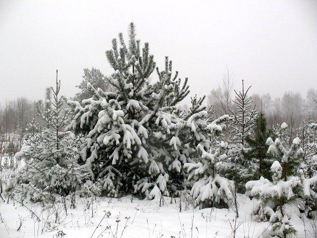 Лучшее время для пересадки хвойных деревьев на участок - зима.