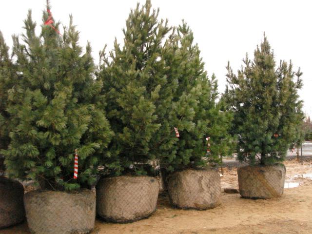 В питомнике вы покупаете хвойные деревья в торфяных горшках.